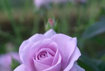 Güler Roses