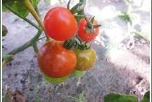 Settimana Undici del Progetto Ecologico / Settimana delle zucchine. Il raccolto di questa settimana si è arricchito di altra verdura. Praticamente ogni giorno abbiamo raccolto insalata, cetrioli o zucchine.