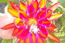 Epiphyllum - wijaya kusuma