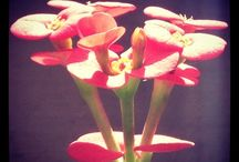 Crown of Thorns / A species of flowering plant, Euphorbia Milii is commonly known as the Crown of Thorns or Christ Plant.