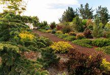 zahrada- konifery