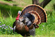 ANIMAL • Turkey