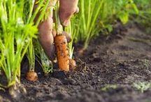 морковь маргонцовка