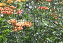 Achillea - Duizendblad / Diverse soorten Achillea (Duizendblad), voordelig online te bestellen bij Plant & Grow. Vers van de kweker!