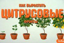 Как вырастить цитрусовые фрукты