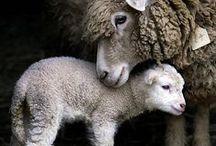 Wool wool wool! / baa!!...wool celebrate UK Wool Week 05.10.15
