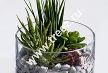 Растения. Суккуленты