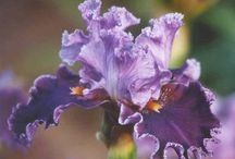 Purple Tall Bearded Iris / Purple tall bearded iris flowers available at Sunshine Iris Nursery