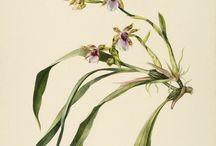 Botanicals / Illustrations Botanics