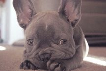 Lovely frenchies