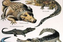 aligators And crocodiles
