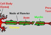neurostiinta