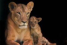famille lions