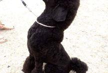 Standardpoodle Arny