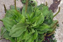 medisiale plante