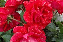 ROSES - RED
