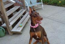 Sadie Benzzz Da Big Red Doberman Pinscher Puppy / Sadie Benzzz Da Big Red Doberman Pinscher Puppy