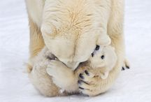 Polar Bears / Fave animal
