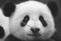anak panda