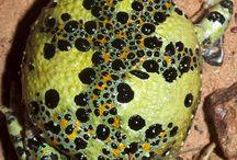 Frogs a plenty
