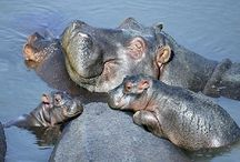 Hippos! (and a few other animals) / Hippos!