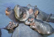 Hippos! / Hippos!