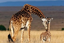 Save the giraffes