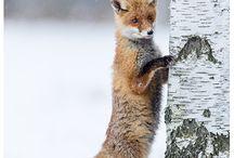 Füchse - Foxes / Füchse