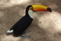 Tucano - Parque Zoobotânico de Teresina  / Tucano - Parque Zoobotânico de Teresina