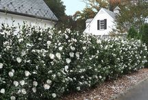 Camellias for hedging or screening