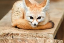 Foxes & Wolves / I love them!
