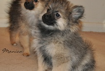 Beautiful Pomeranian Babies / Yes - we think they are beautiful! Other people do too!  If you think so, pin or like us. This is fun! :)