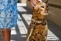 savannahs cat