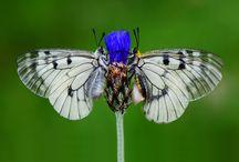 Butterfly / Macro photo butterfly