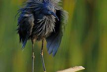 (Huis)dieren / black heron