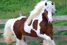 Cavalli/Horses