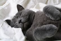Pewter Color Cats / Pewter Color #Cats
