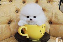 Teacup Pomerian Puppy