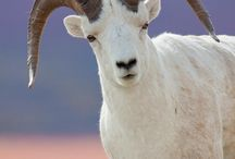 Animals:  Goats, Sheep