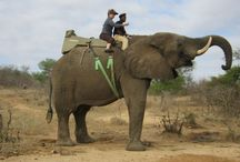 Elephant's / Elephants that have been spotted.