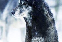 Wolf elusive