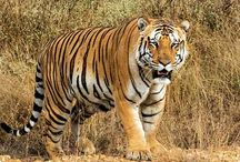 Tiger Of India / Jai the most beloved tiger of India becomes the most mysterious one since April 18 2016 when it went missing and all the relevant departments have no clue of his whereabouts yet.