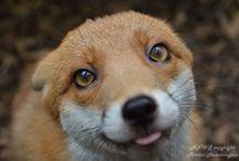 cute foxees