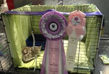 australian mist kitten  11 weeks old first show 11 th june 2014 / Ancats 17 th national Show