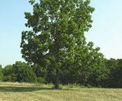 WALNUT TREE INSPIRED BY NATURE / How nature inpire artists and pass through pure art to art design