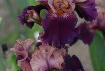 Irysy (purpura mix)
