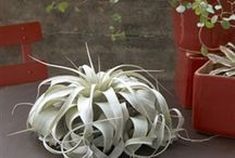 Wholesale Air Plants / Air plants at wholesale prices to the public. No corporation or tax certificate needed. Free shipping available / by Air Plant Shop.Com
