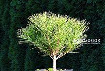 Pinus densiflora - Sosna gęstokwiatowa
