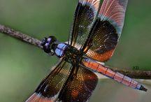 libellules et insectes