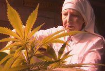 Le plant de cannabis / Sur la culture du chanvre en France et à l'étranger.